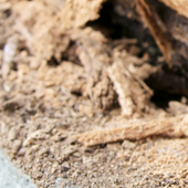 アメリカカンザイシロアリの・・の画像