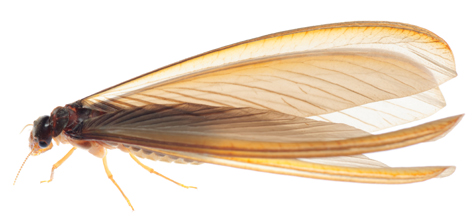 羽アリを見つけたら、シロア・・の画像